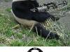 pandas-need-guns
