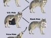 Wolf_Pack_Hierarchy_i
