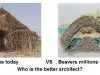 africans_vs_beavers